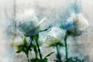 розы в дожде